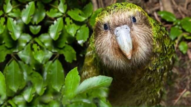 kakapo looking at camera